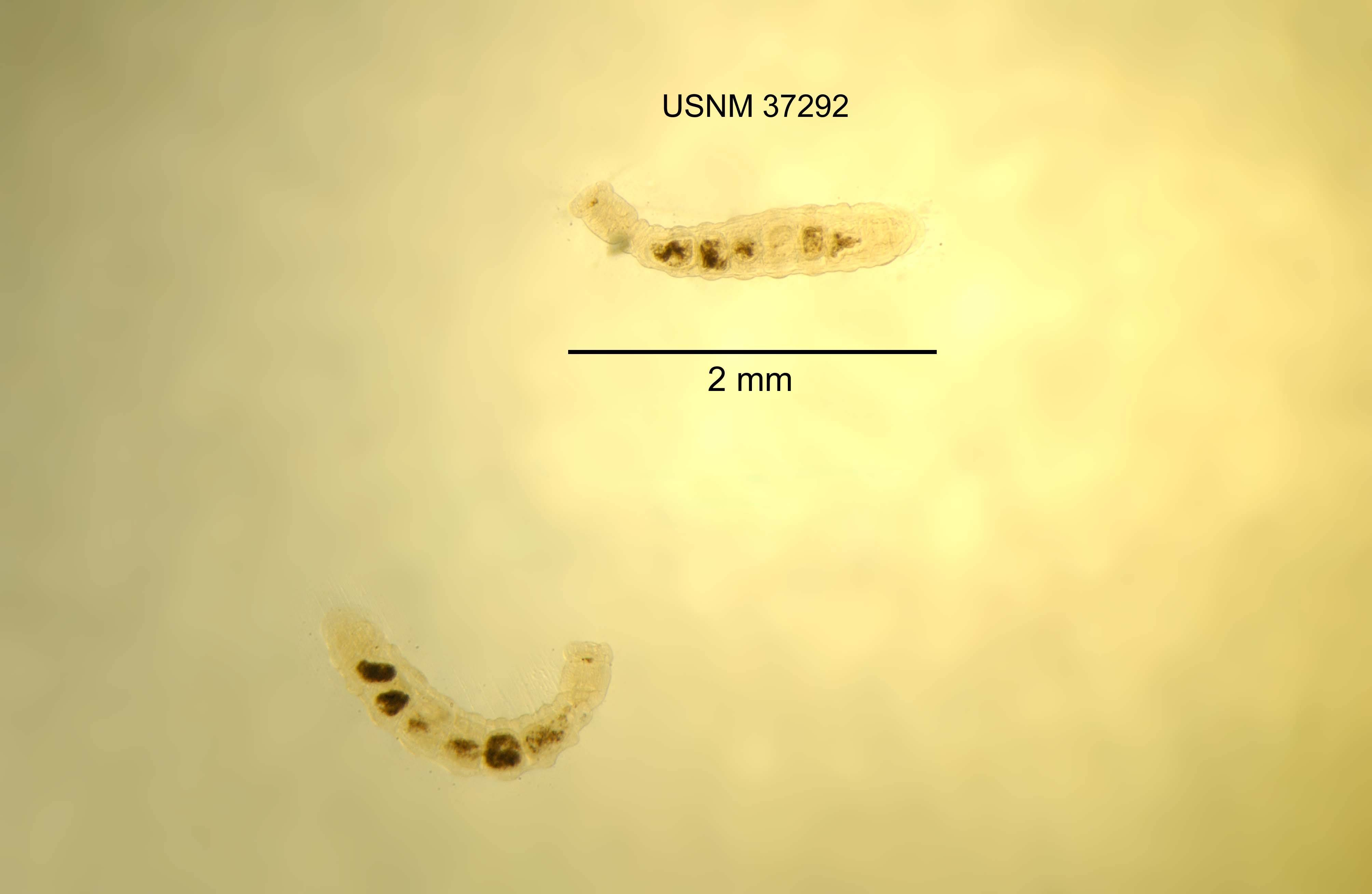 Image of <i>Ankyrodrilus legaeus</i> Holt 1965