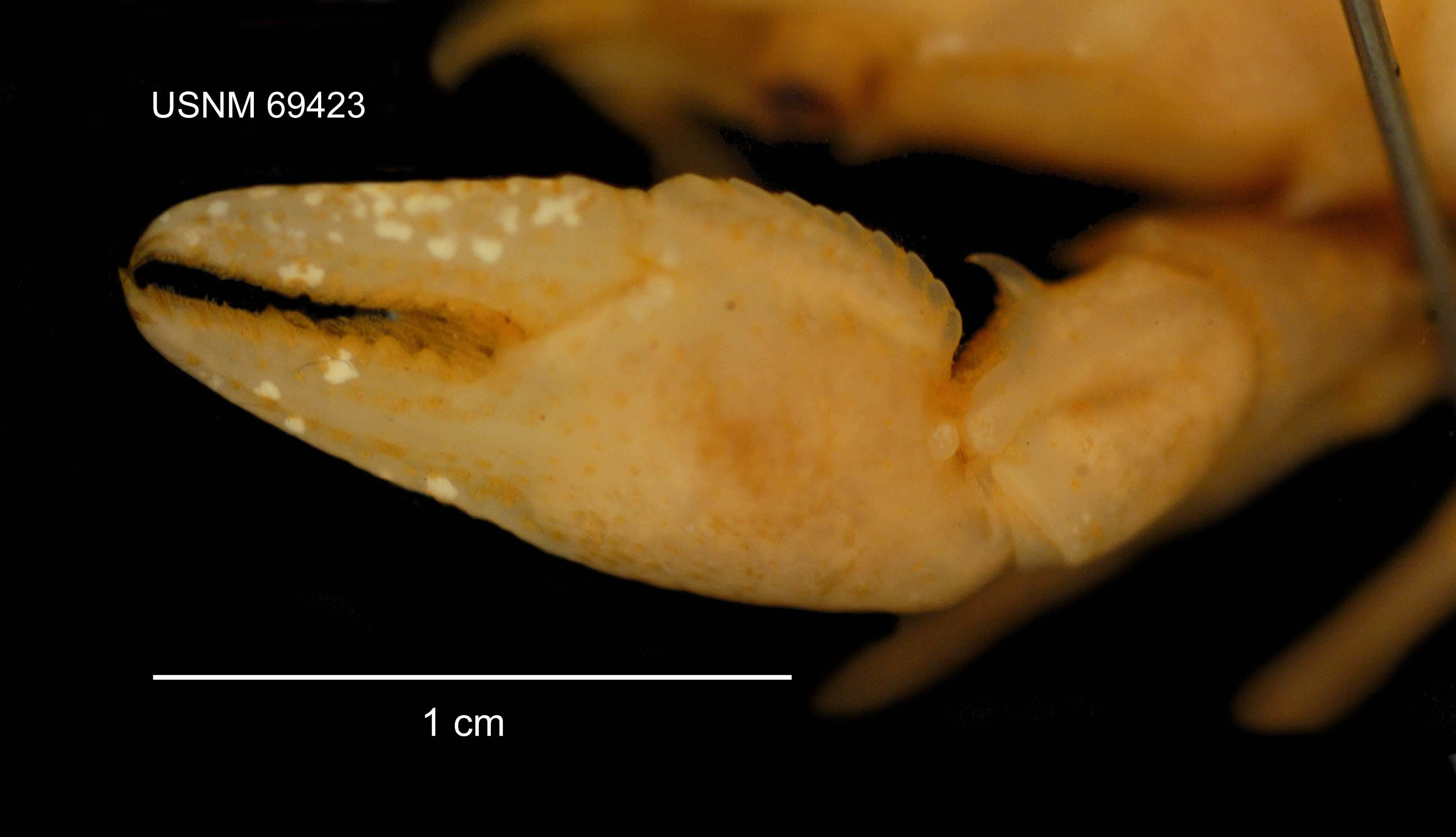 Image of <i>Cambarus</i> (<i>Puncticambarus</i>) <i>acuminatus</i> Faxon 1884