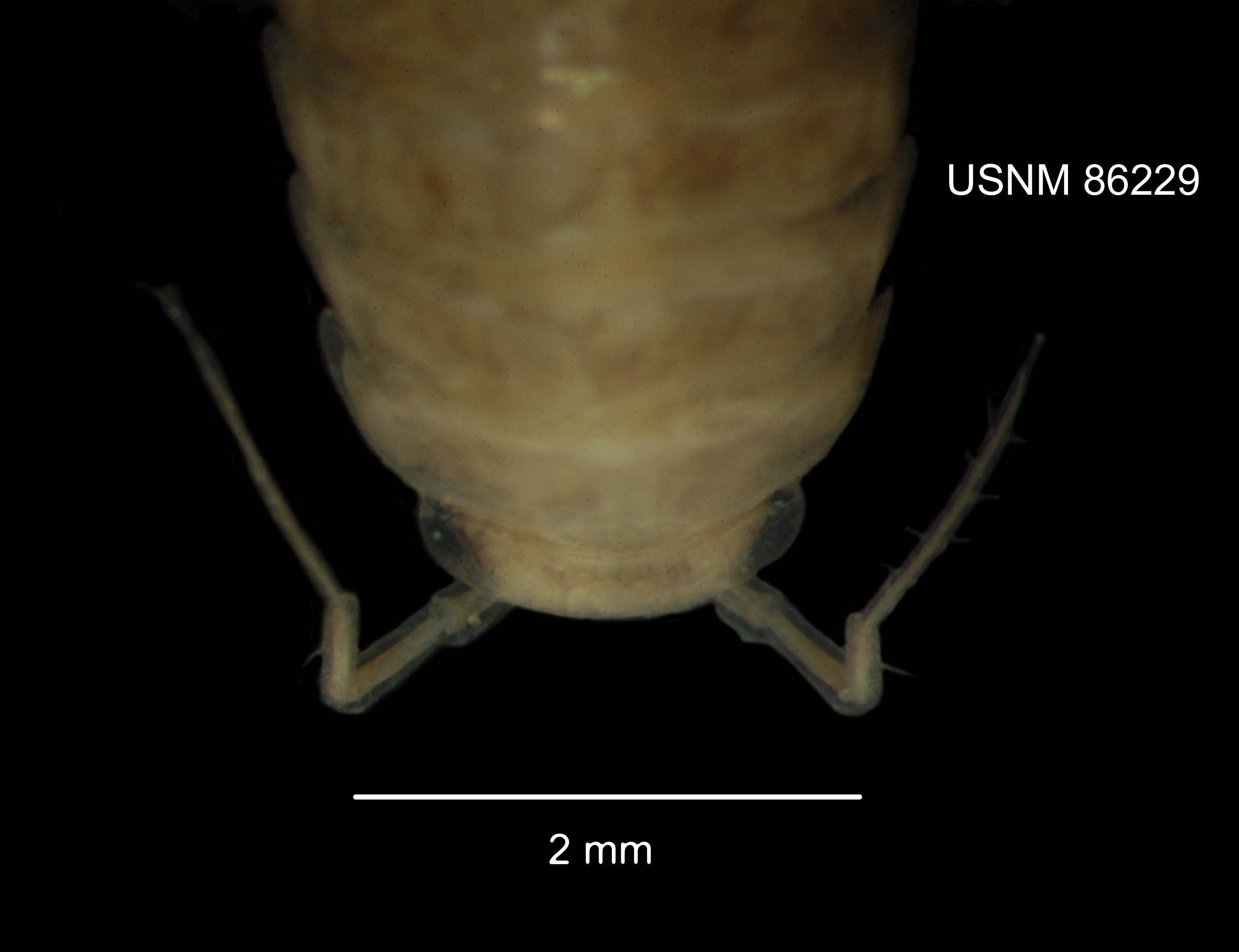 Image of <i>Ligidium longicaudatum</i> Stoller