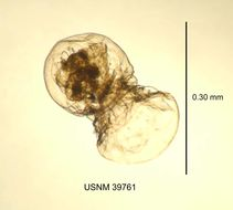 Image of <i>Cupelopagis vorax</i> (Leidy 1857)