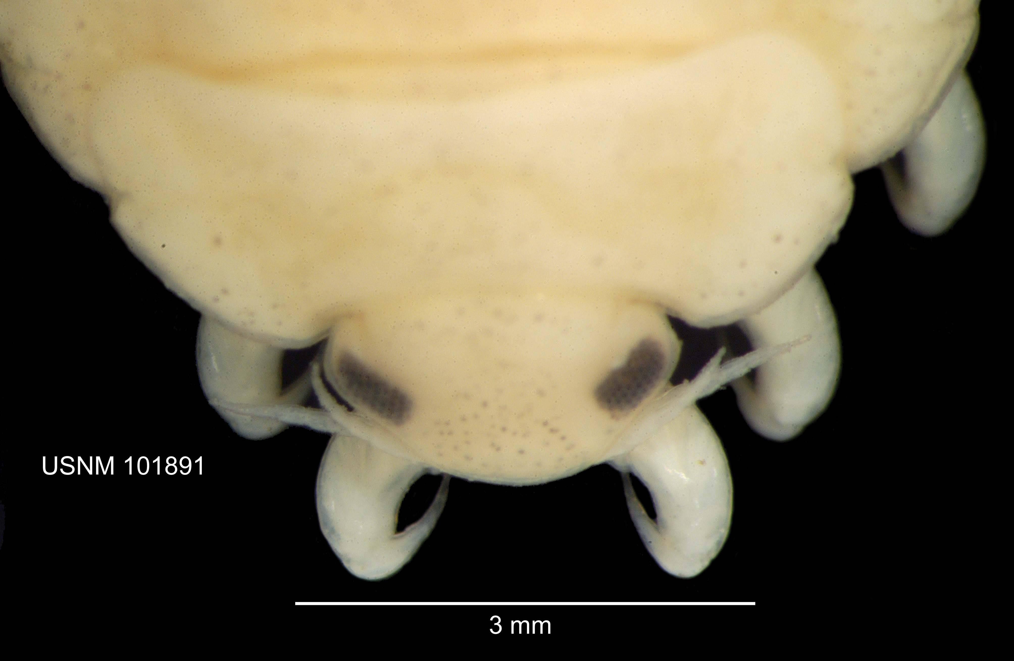 Image of <i>Artystone trysibia</i> Schioedte 1866