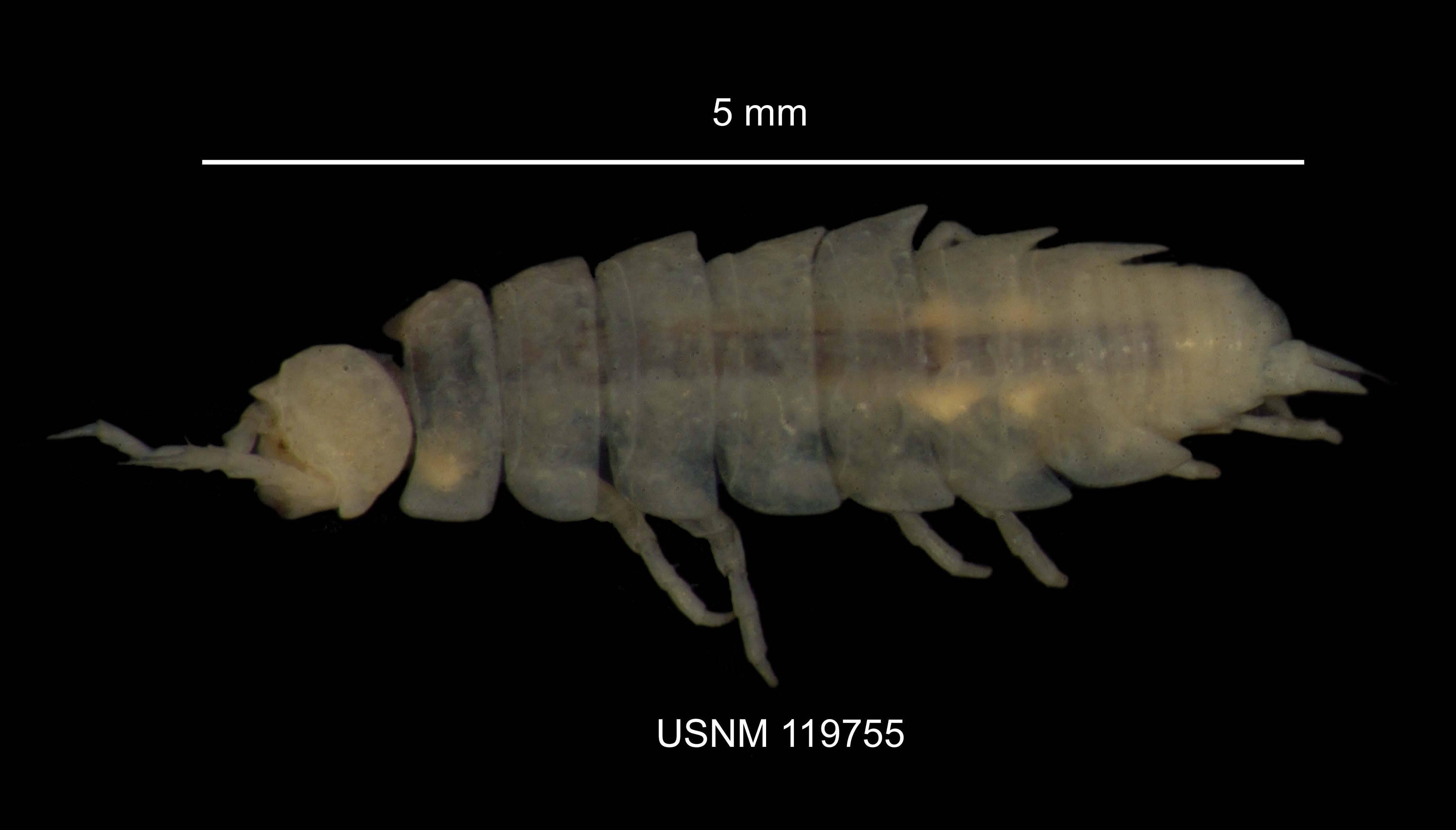 Image of <i>Miktoniscus racovitzai</i> Vandel 1950