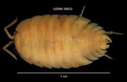 Image of <i>Porcellio laevis</i> Latreille 1804