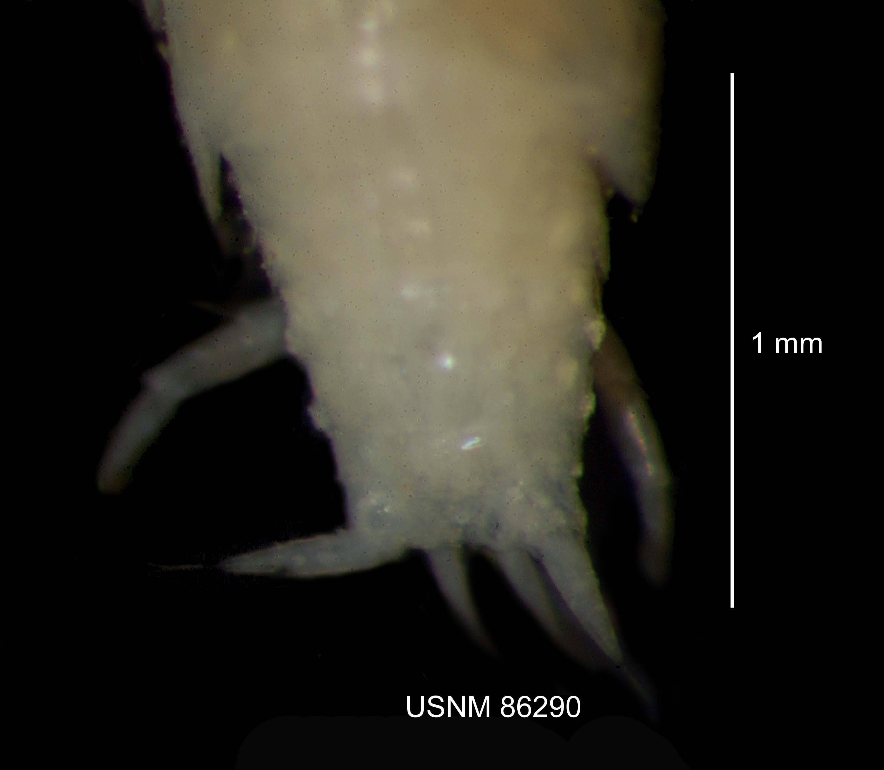 Image of Trichoniscus