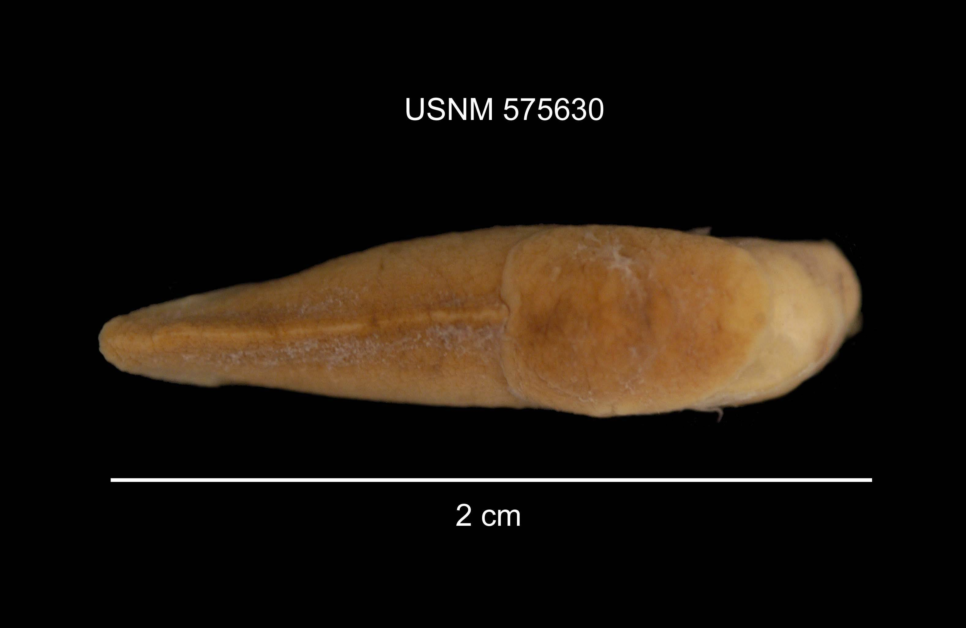 Image of Greenhouse slug