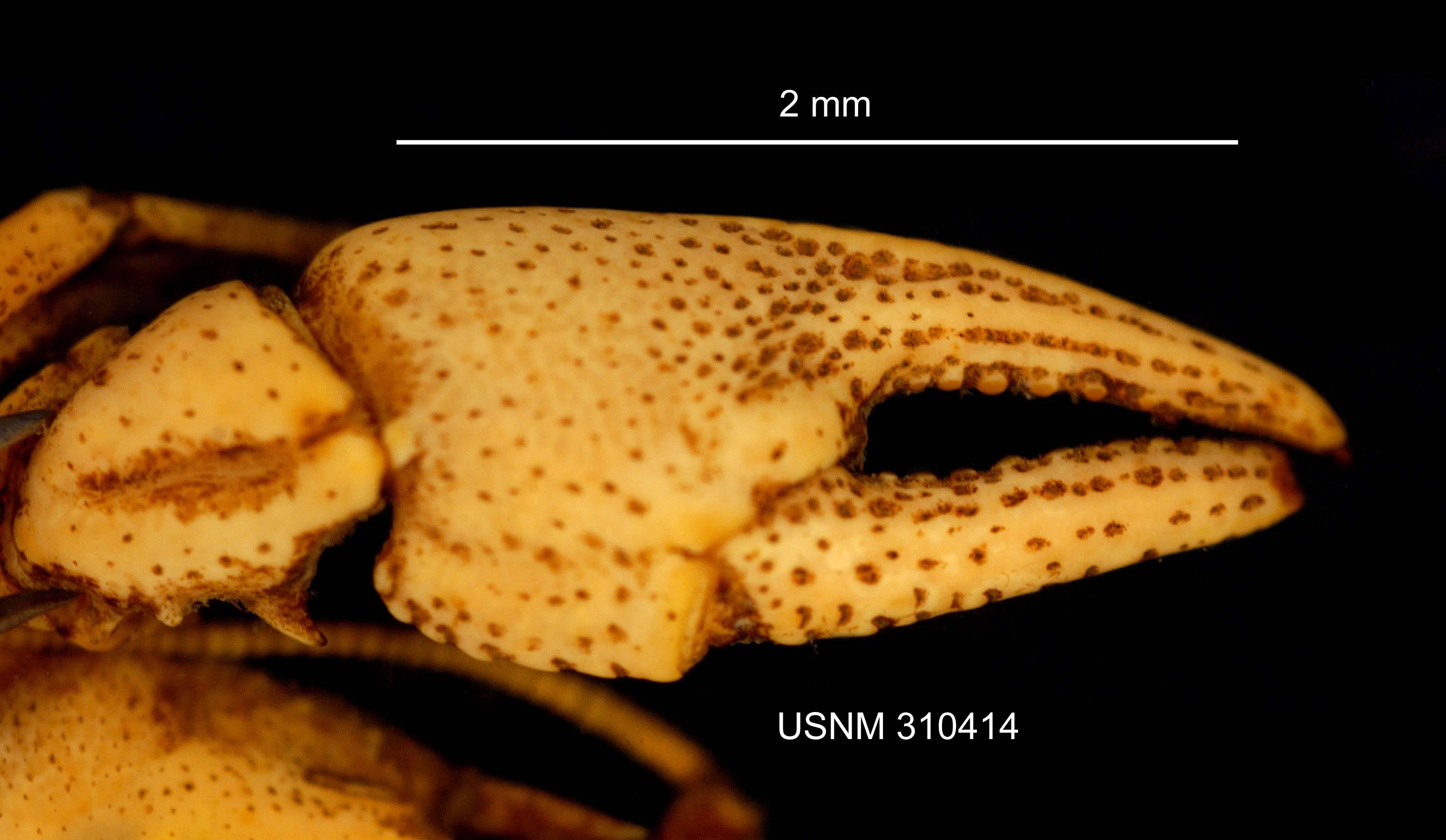 Image of <i><i>Cambarus</i></i> (Cambarus) <i><i>bartonii</i></i> bartonii (Fabricius 1798)