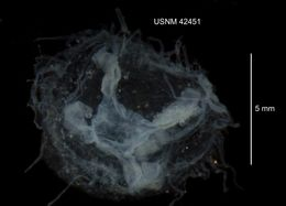 Image of Freshwater jellyfish