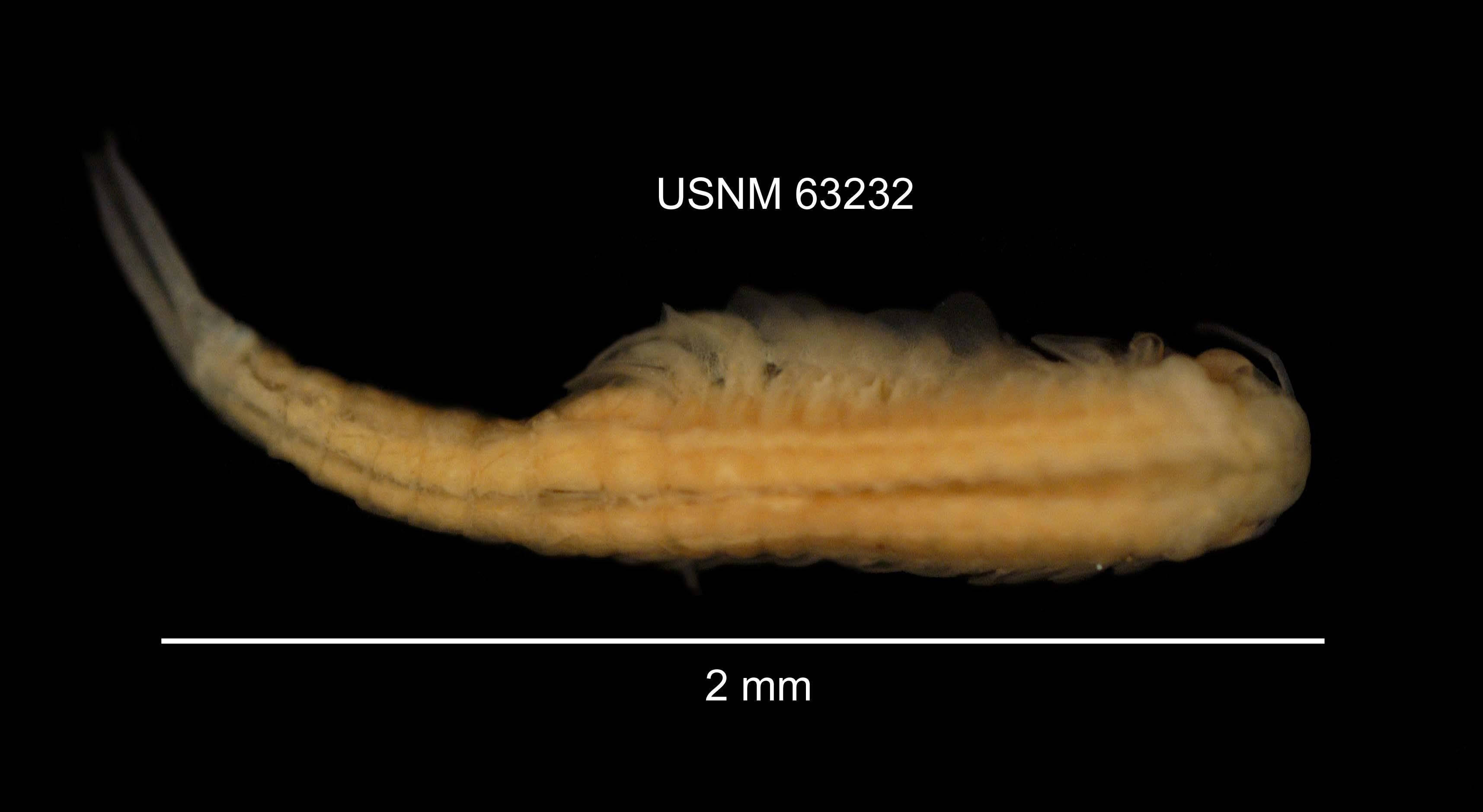 Image of <i>Streptocephalus sealii</i> Ryder 1879