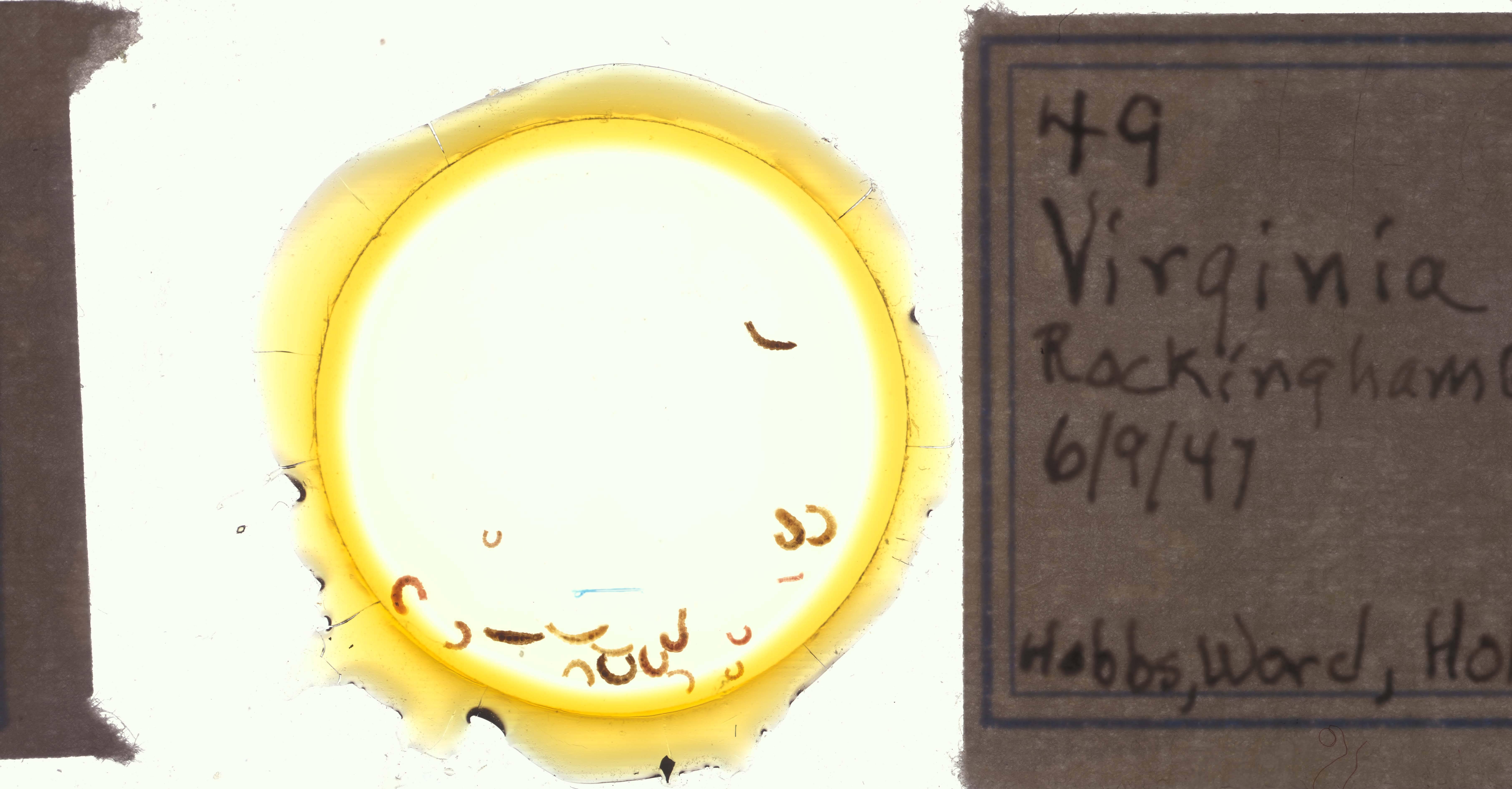 Image of <i>Oedipodrilus wordi</i> Holt