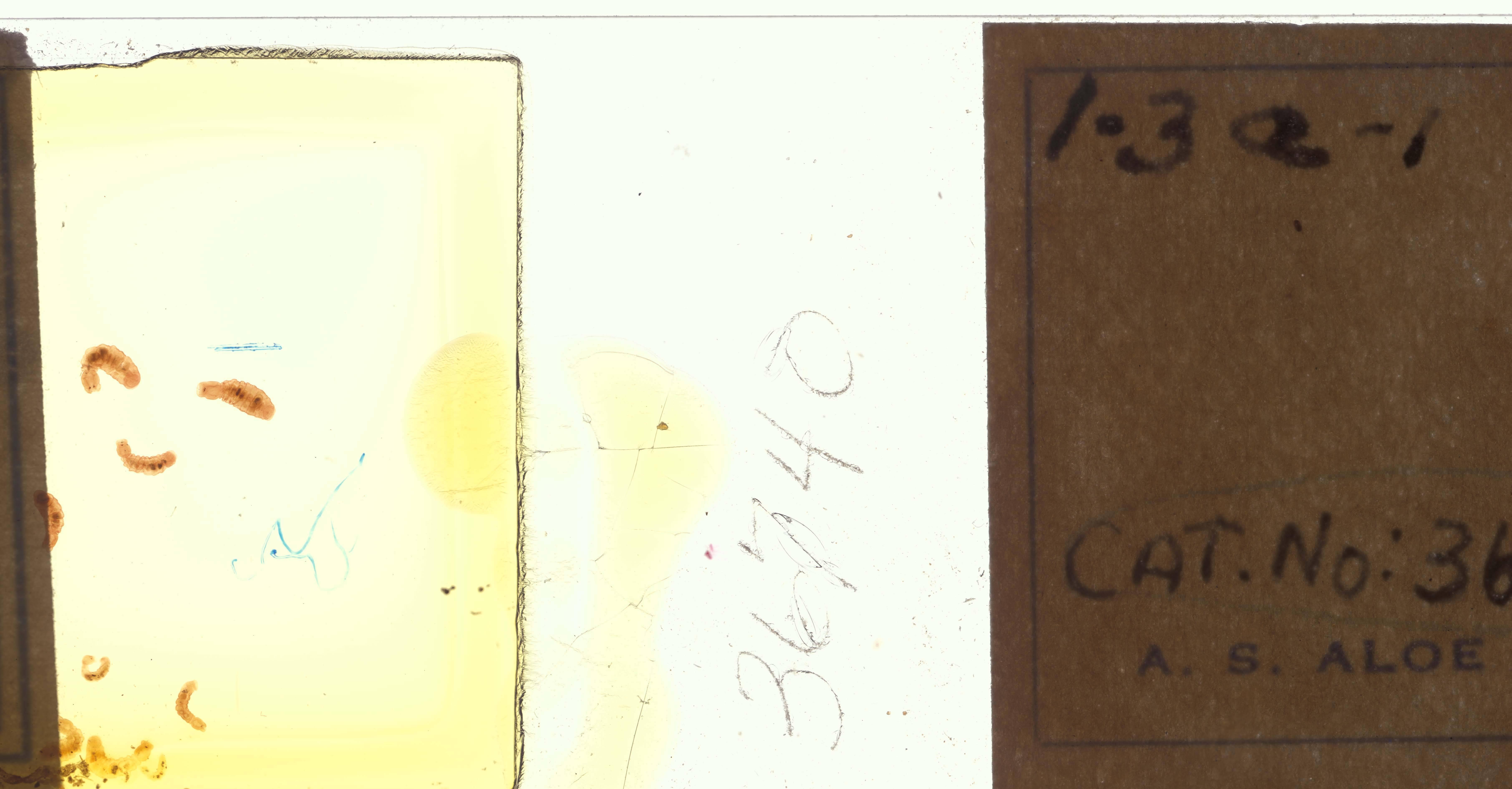 Image of <i>Cambarincola philadelphica</i> Leidy