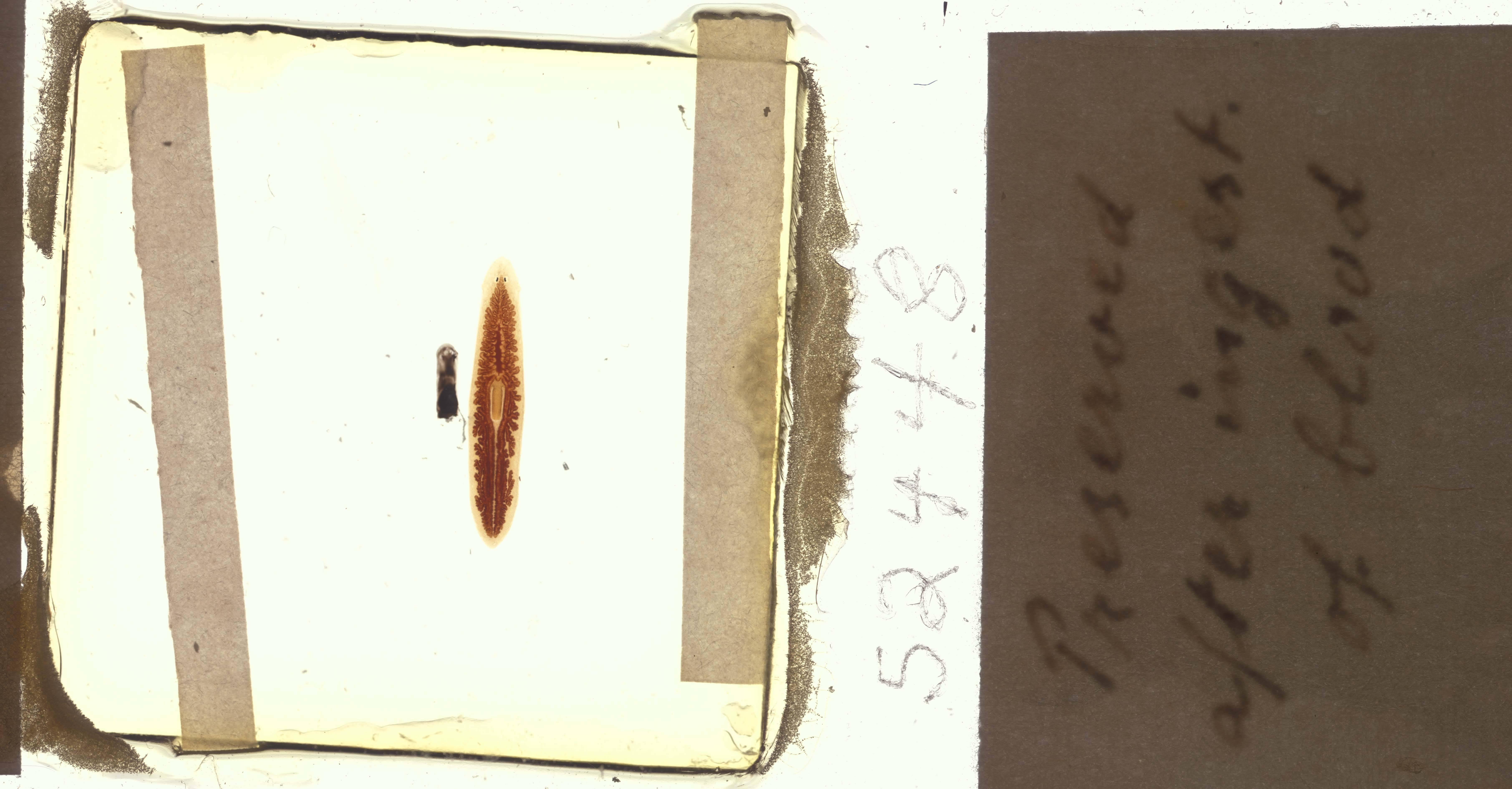 Image of <i>Dugesia dorotocephala</i> (Woodworth)