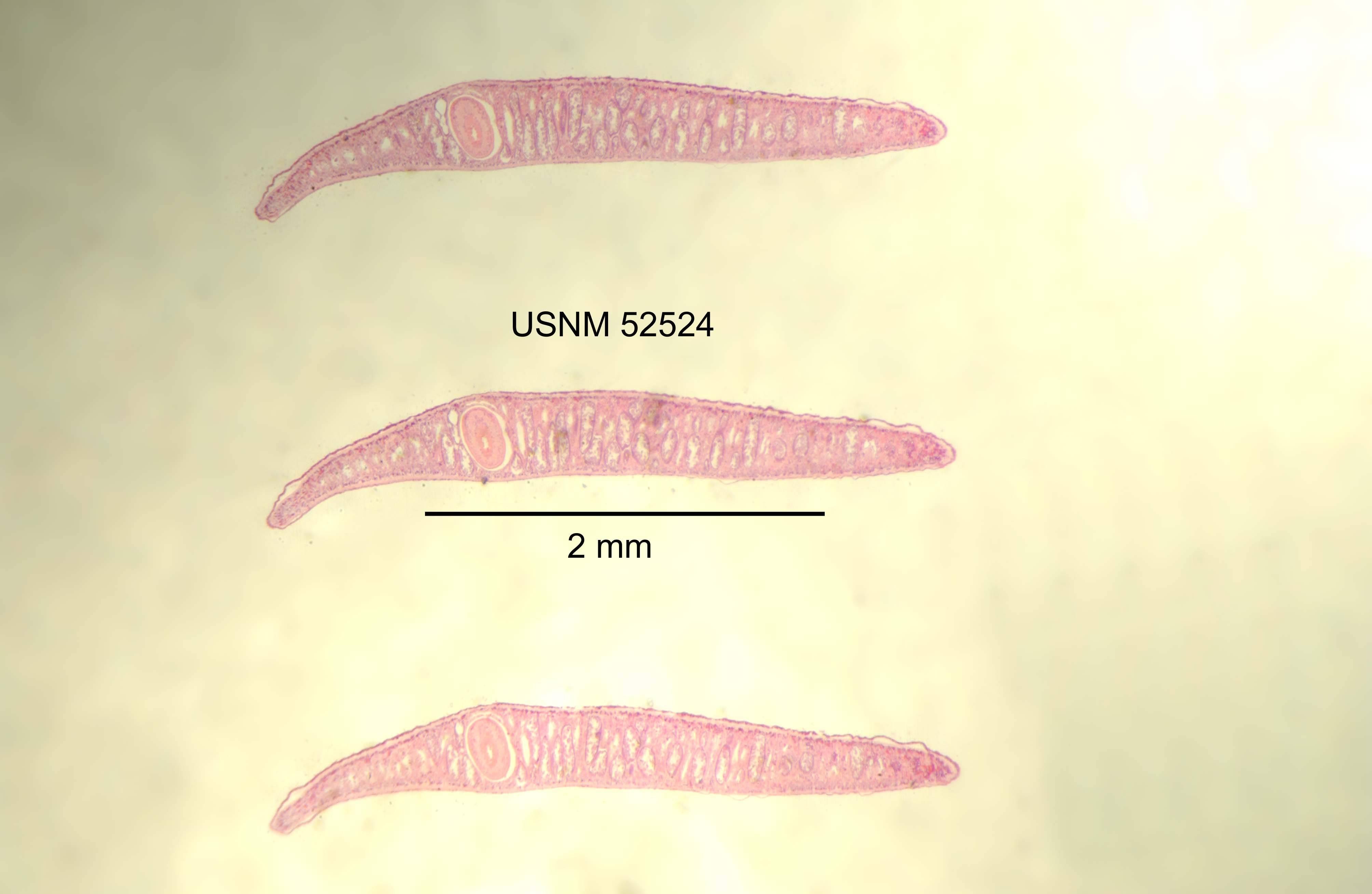 Image of <i>Phagocata gracilis</i> (Haldeman 1840)