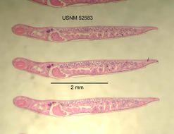 Image of <i>Planaria <i>dactyligera</i></i> ssp. dactyligera