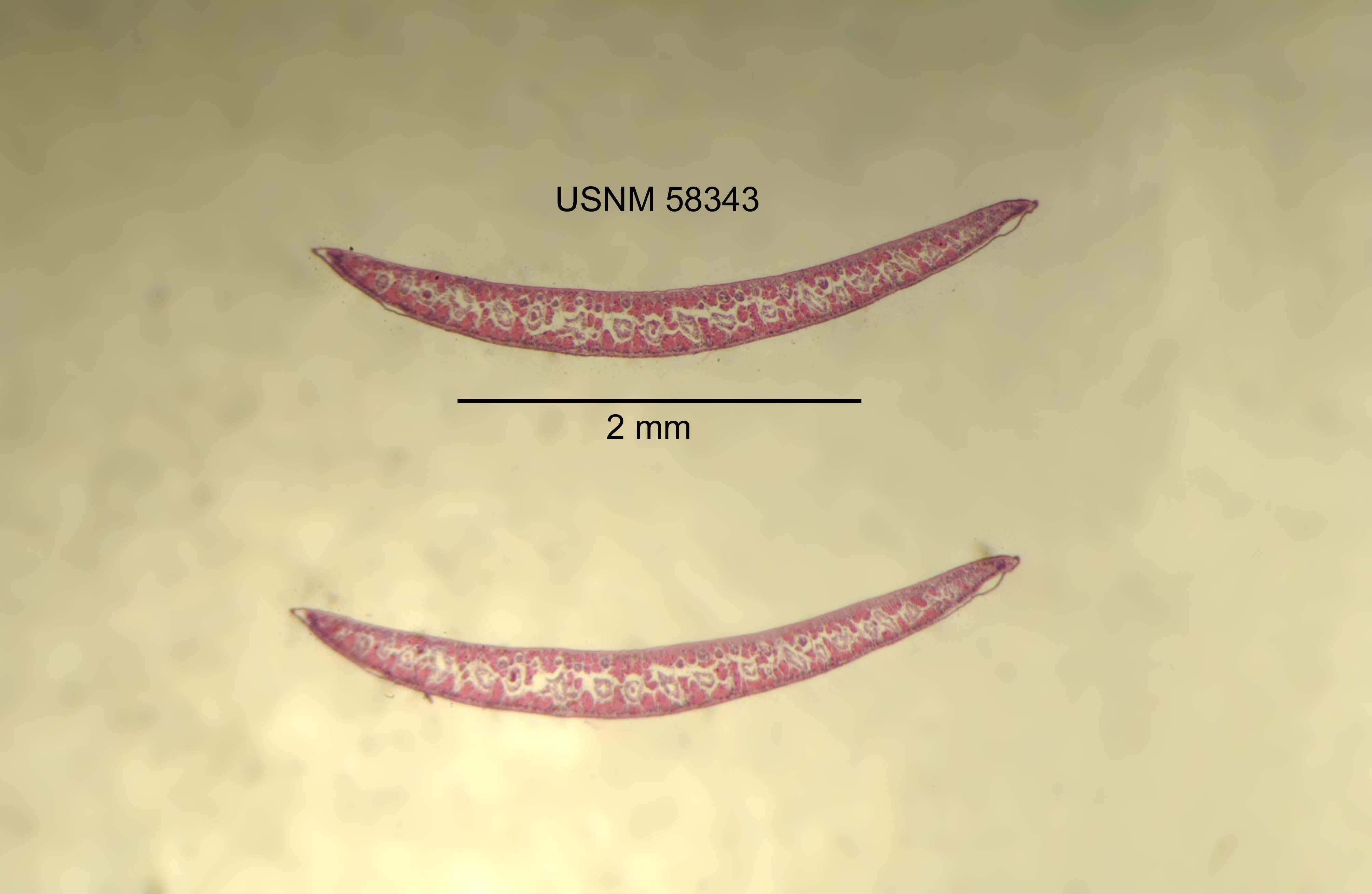 Image of <i>Phagocata virilis</i> Kenk 1977