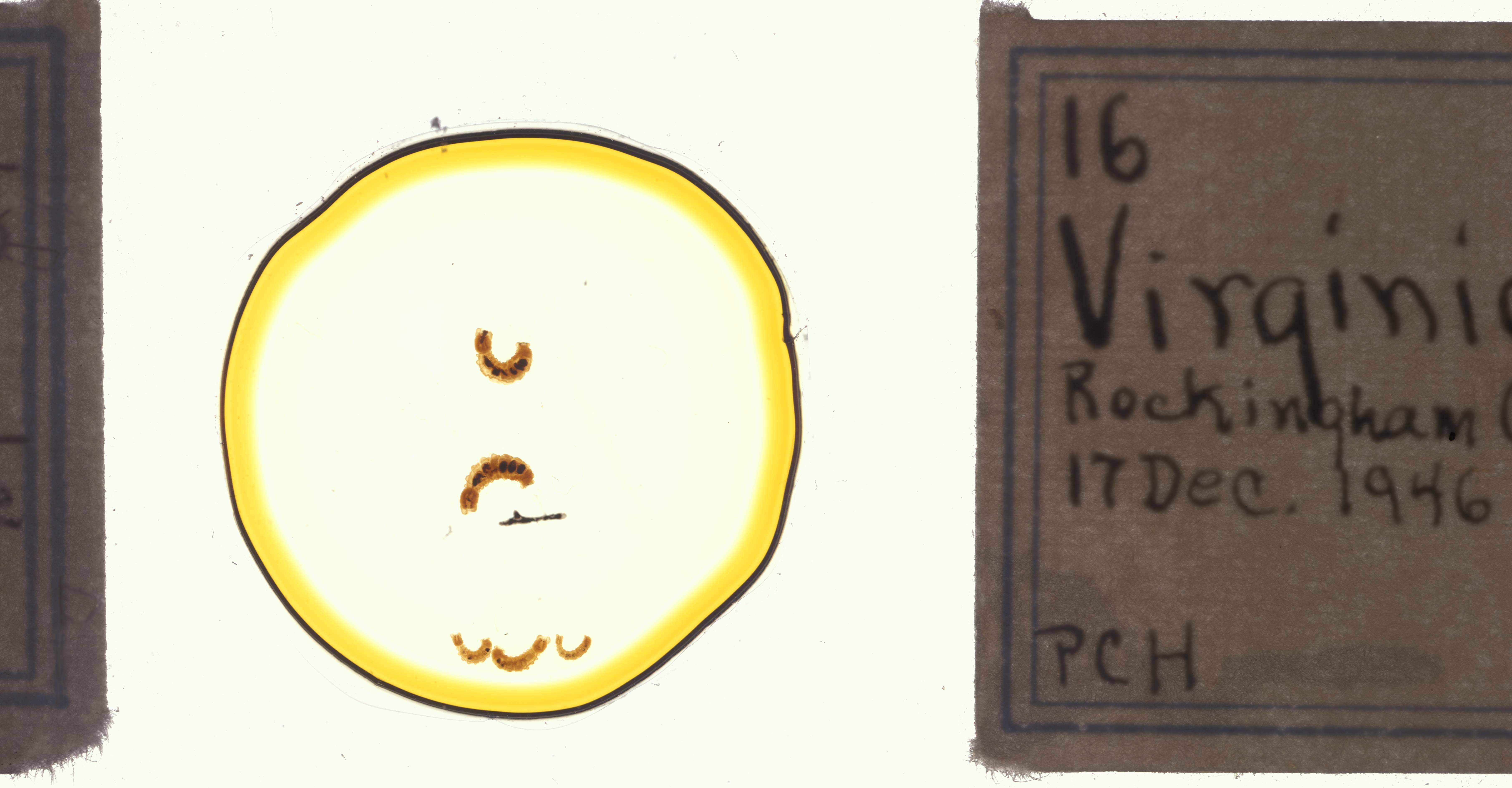 Image of Cambarincola