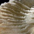 Image of <i>Fungia repanda</i> Dana 1846