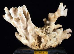 Image of <i>Porites nigrescens</i> ssp. <i>mucronata</i> Dana