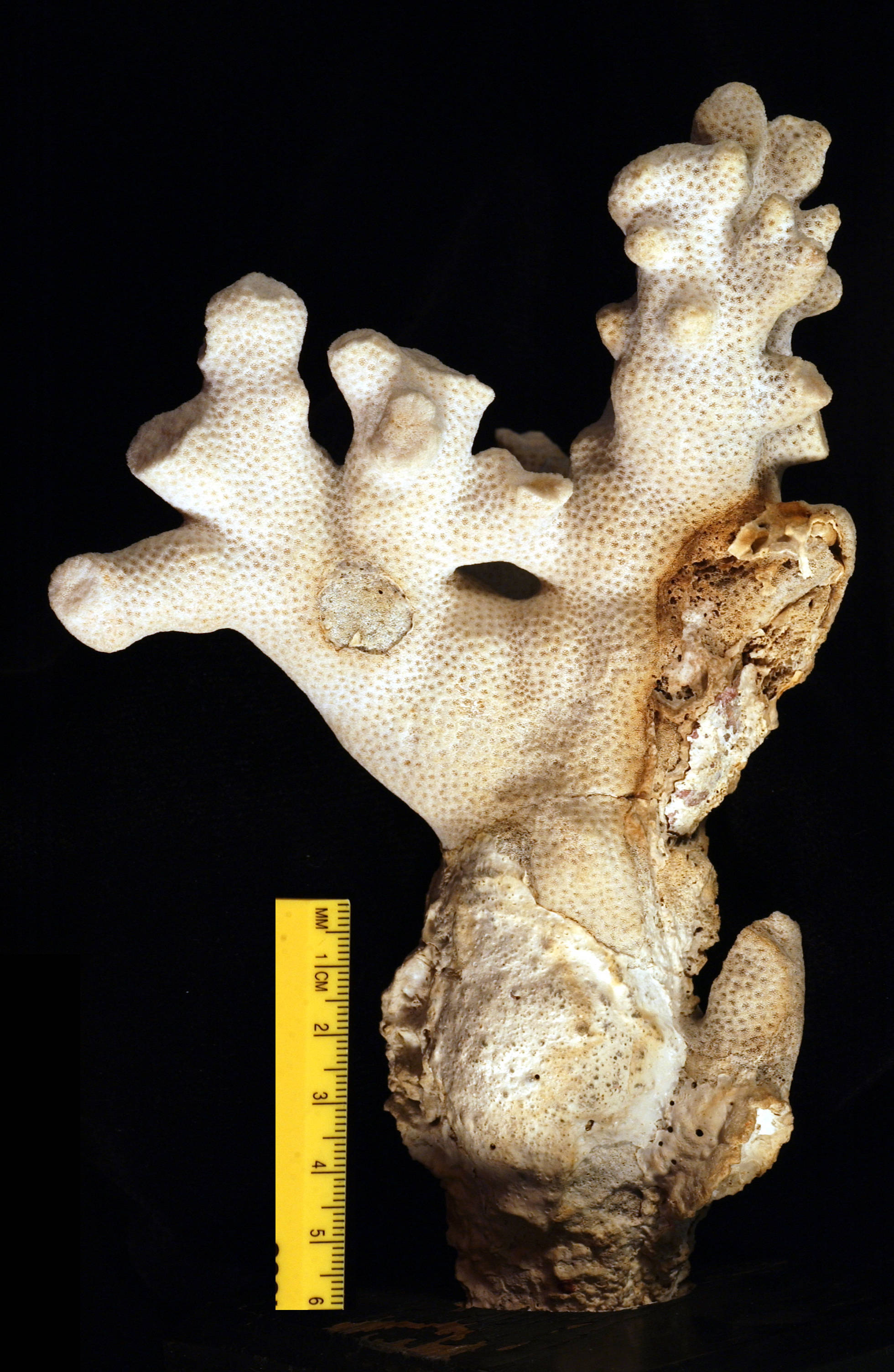 Image of hump coral