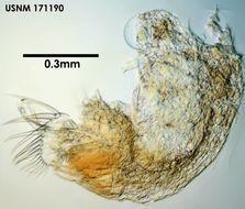 Image of <i>Archiconchoecia simula</i> Deevey 1982