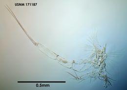 Image of <i>Conchoecia lunata</i> Deevey