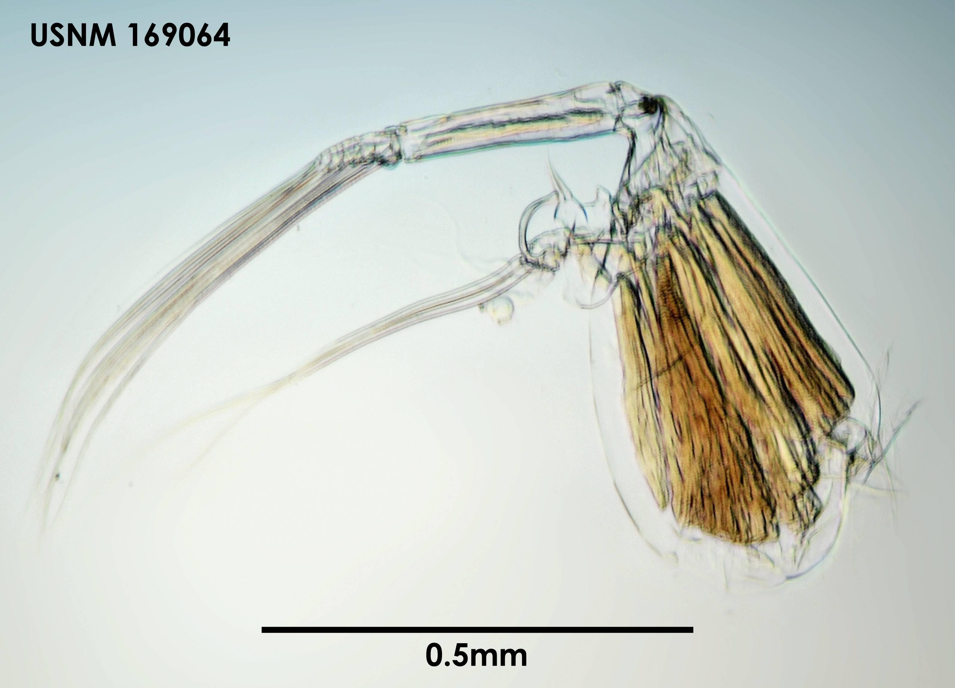 Image of <i>Conchoecia arcuata</i> Deevey