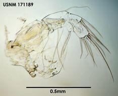 Image of <i>Archiconchoecia bidens</i> Deevey 1982