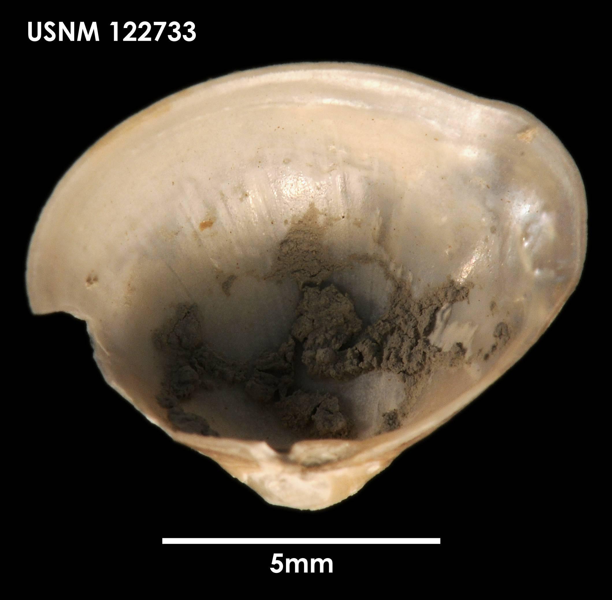 Image of <i>Dermatomya mactroides</i> (Dall 1889)