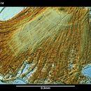 Image of <i>Synasterope mystax</i> Kornicker 1975
