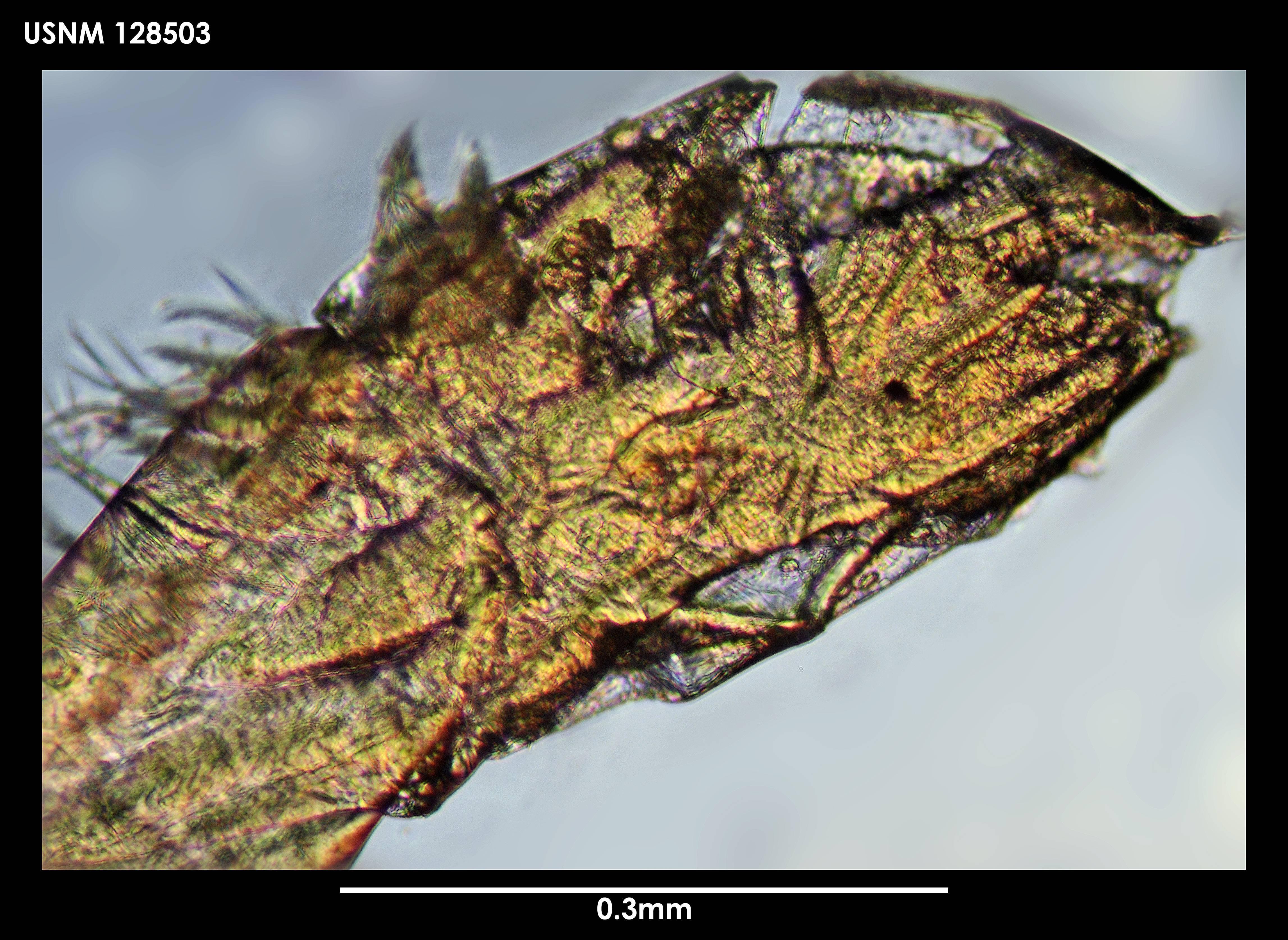 Image of <i>Scleroconcha frons</i> Kornicker 1975