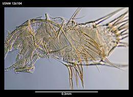 Image of <i>Spinacopia mastix</i> Kornicker 1975