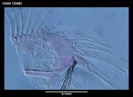 Image of <i>Archasterope pentathrix</i> (Kornicker 1971)