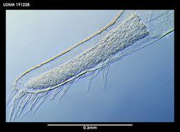 Image of <i>Ascothorax sosci</i> Grygier 1983