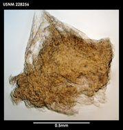 Image of <i>Dendrogaster usarporum</i> Grygier 1987