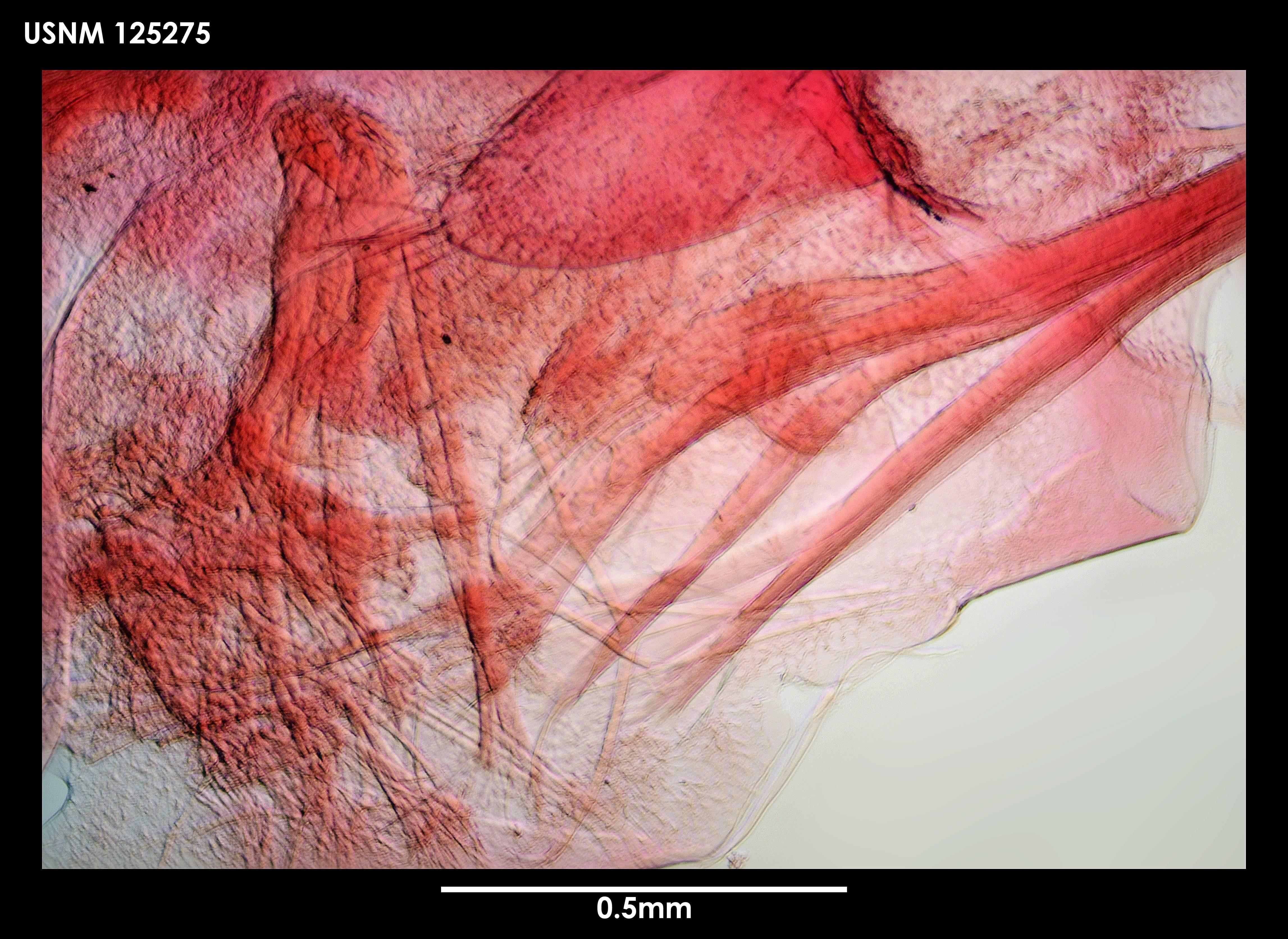 Image of <i>Gymnoscalpellum tarasovi</i> Newman & Ross 1971