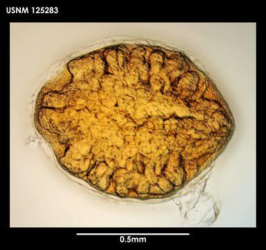 Image of <i>Litoscalpellum simplex</i> Newman & Ross 1971