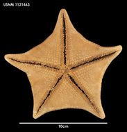 Image of <i>Diplodontias singularis</i> (Muller & Troschel 1843)