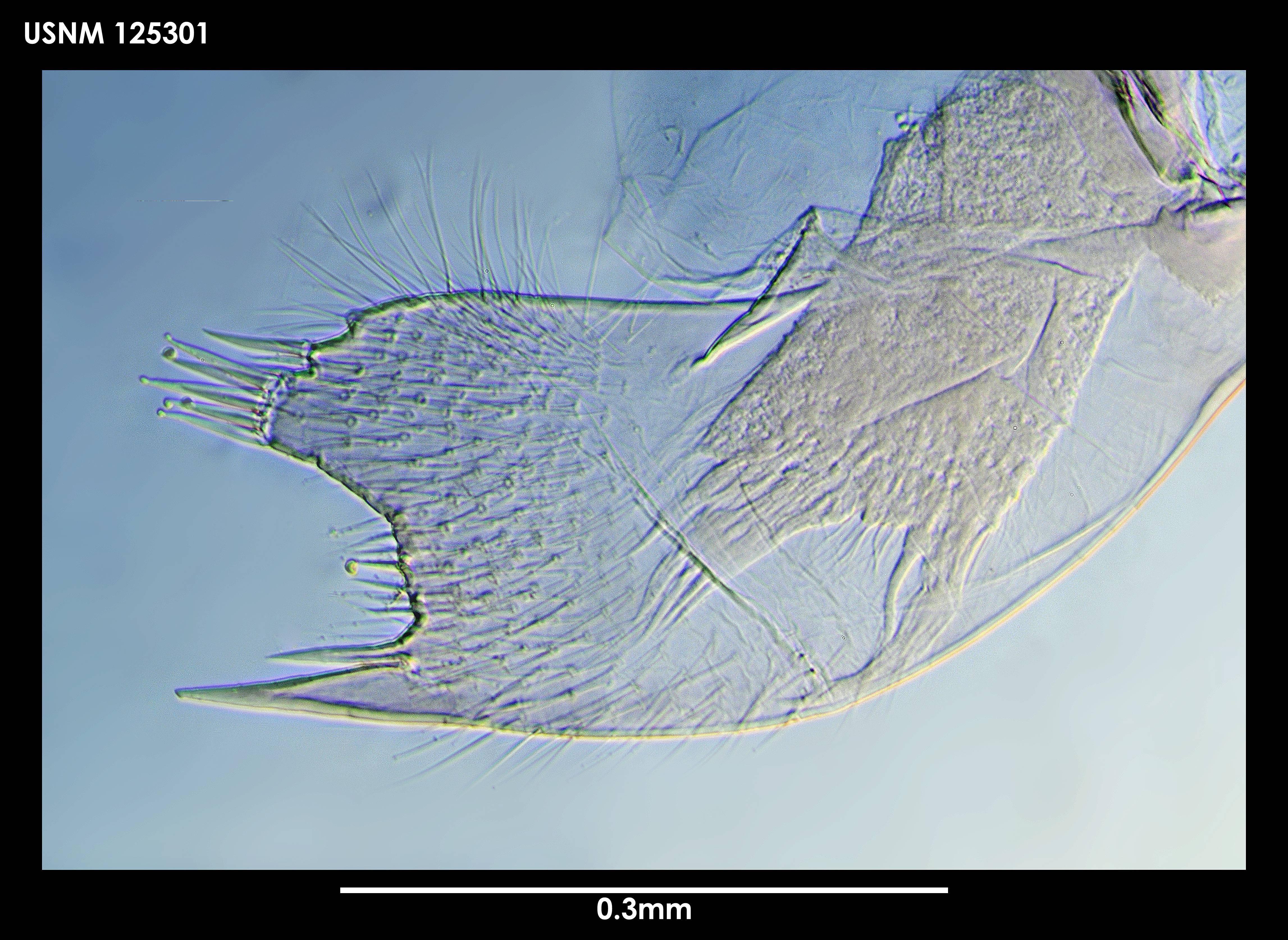 Image of <i>Verruca gibbosa</i> Hoek 1883