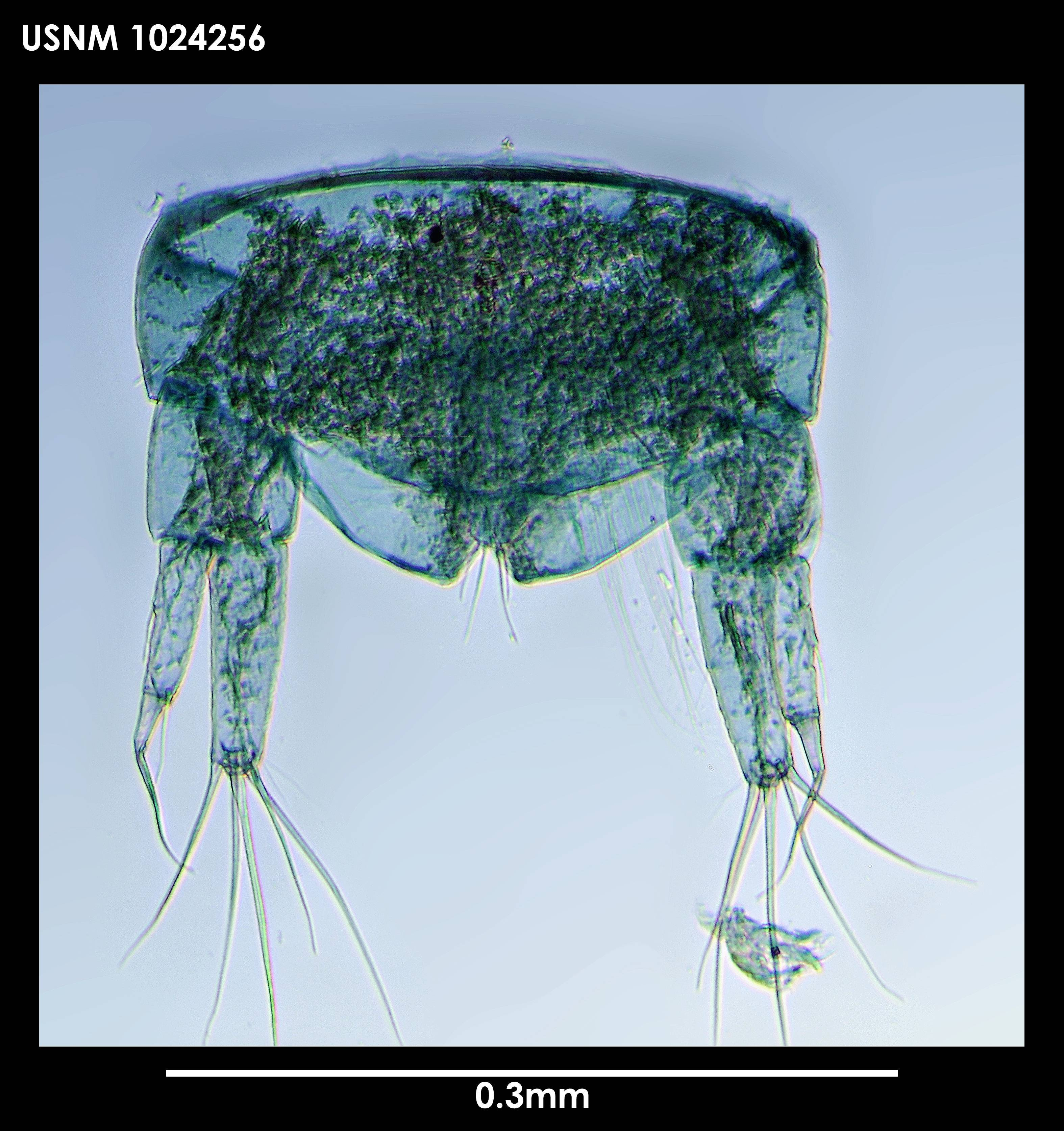 Image of <i>Typhlotanais grahami</i> Blazewicz-Paszkowycz 2004