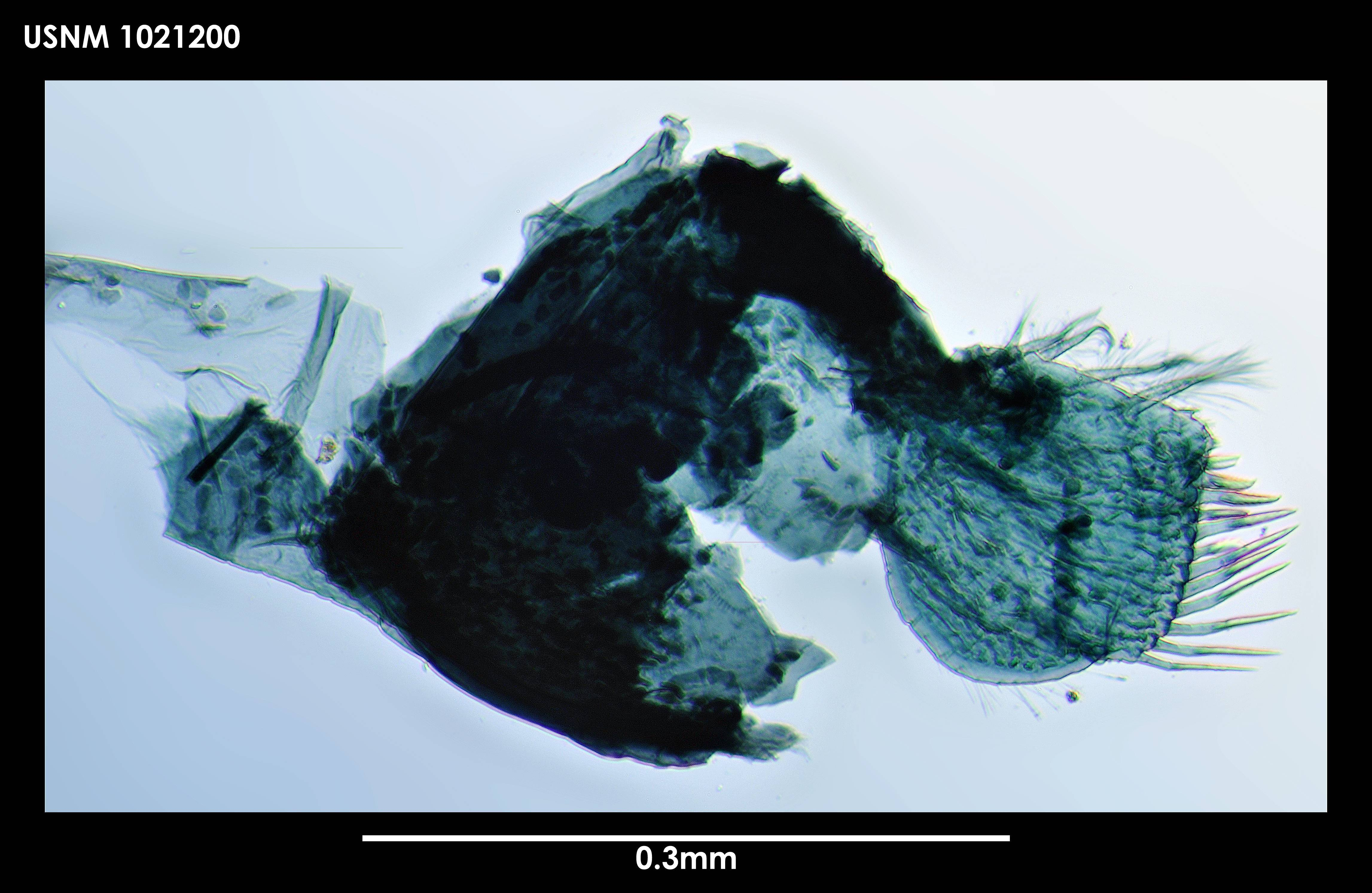 Image of <i>Apseudes abyssalis</i> Blazewicz-Paszkowycz & Larsen 2004