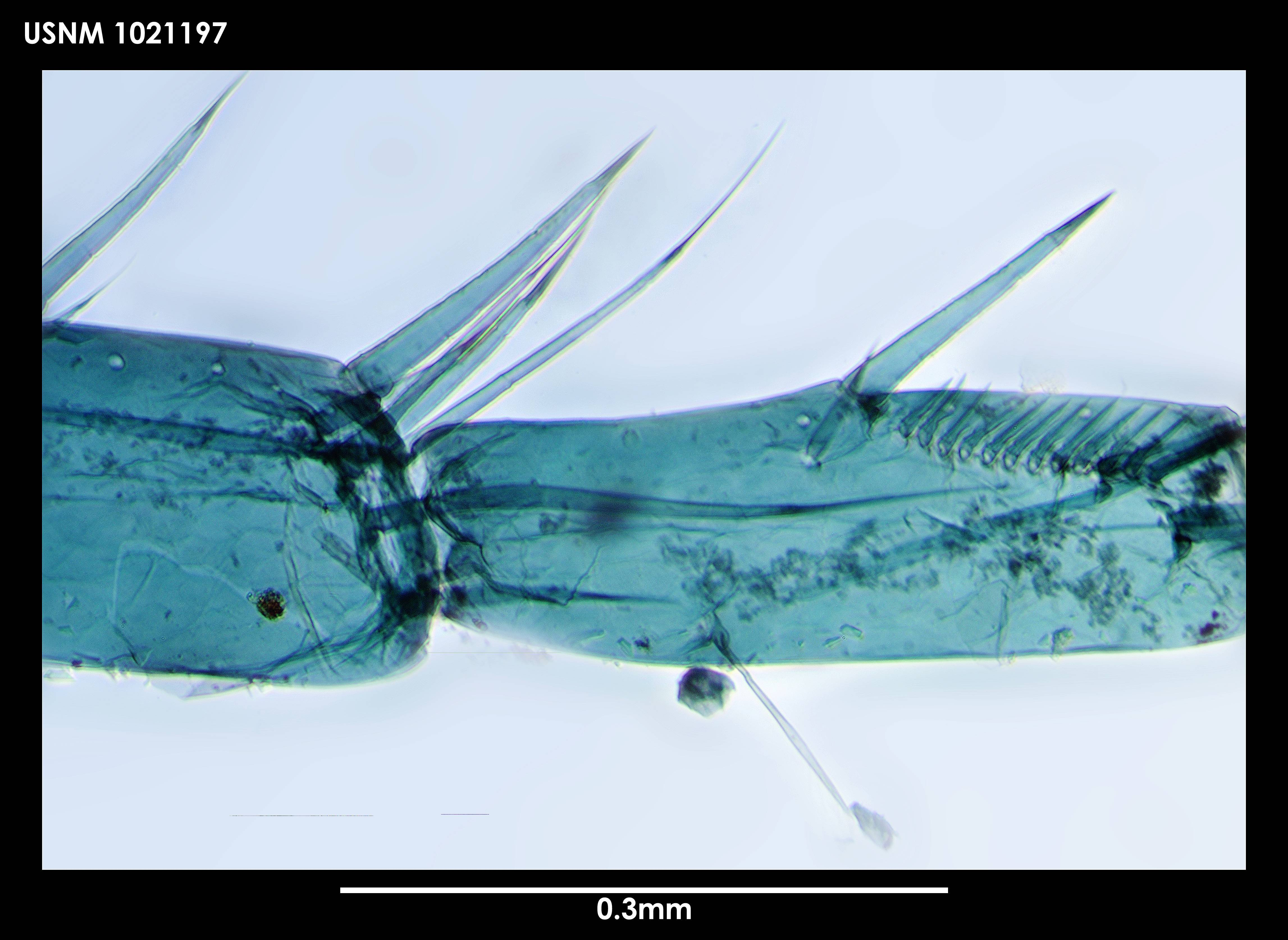 Image of <i>Leviapseudes teunimanus</i> Blazewicz-Paszkowycz & Larsen