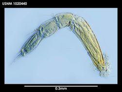 Image of <i>Tanaella eltaninae</i> Guerrero-Kommritz & Blazewicz-Paszkowycz 2004