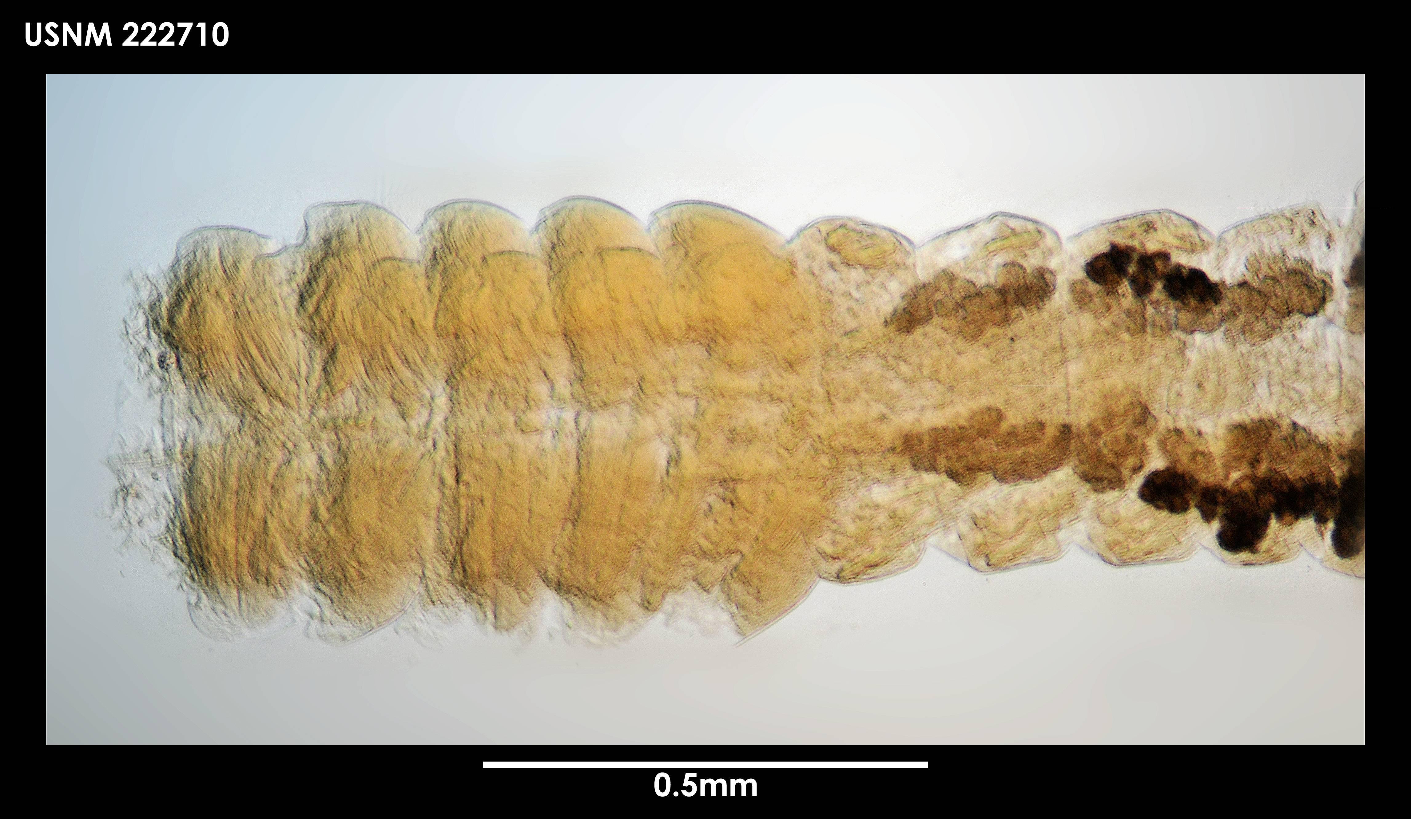 Image of <i>Siphonolabrum fastigatum</i> Sieg 1986
