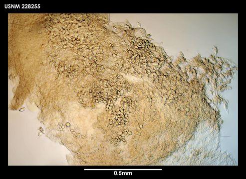 Image of <i>Gongylophysema asetosum</i> Grygier 1987