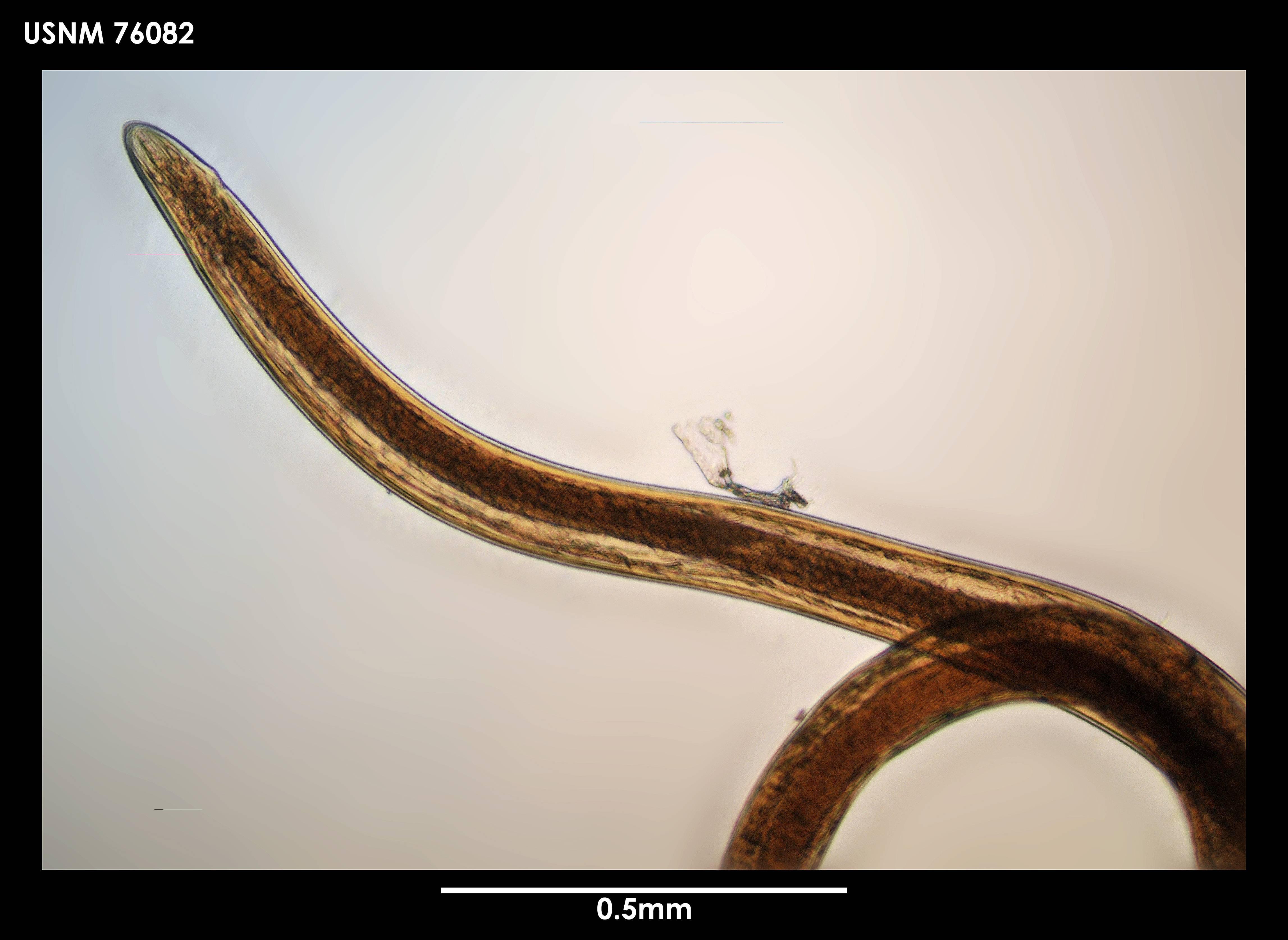Image of <i>Leptosomatum clavatum</i> Platonova 1958