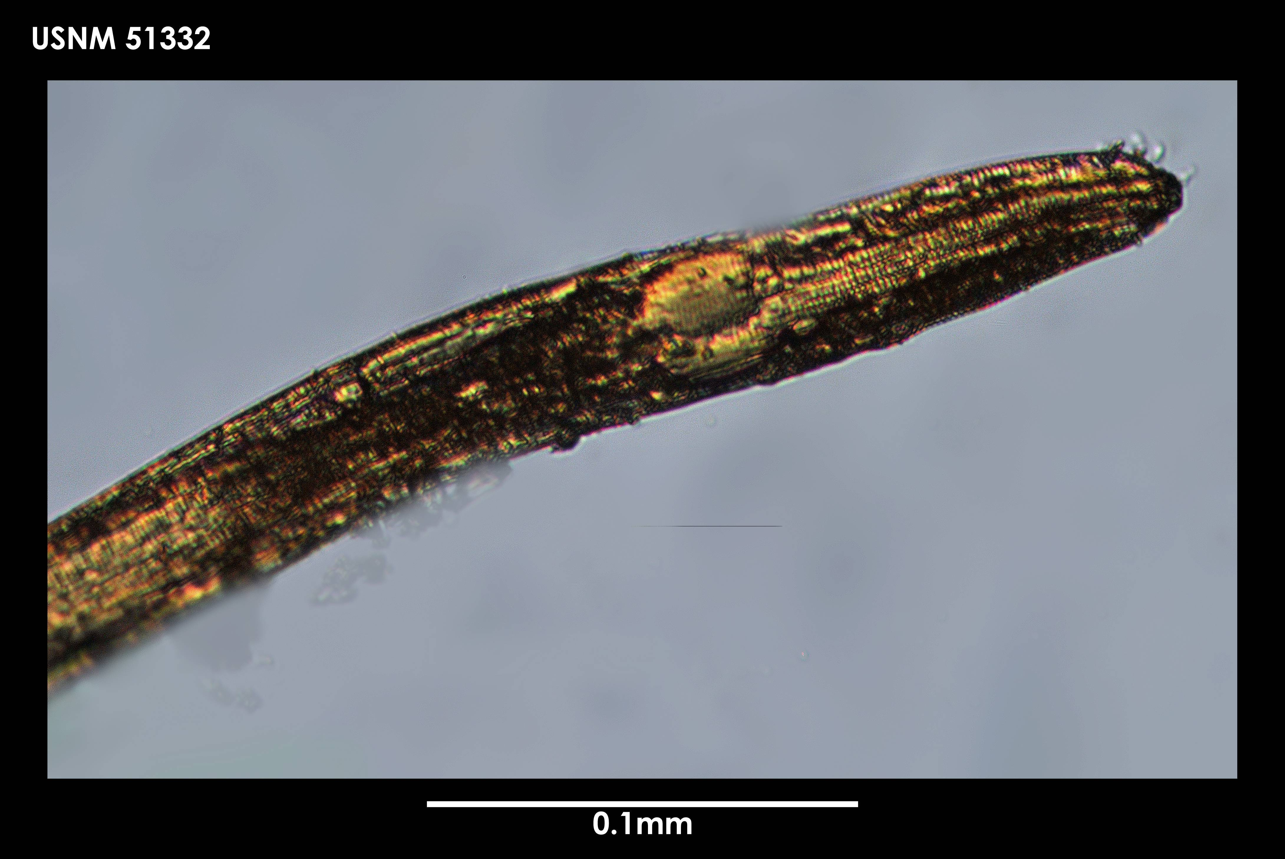 Image of <i>Chromadora serrata</i> (Cobb 1914)