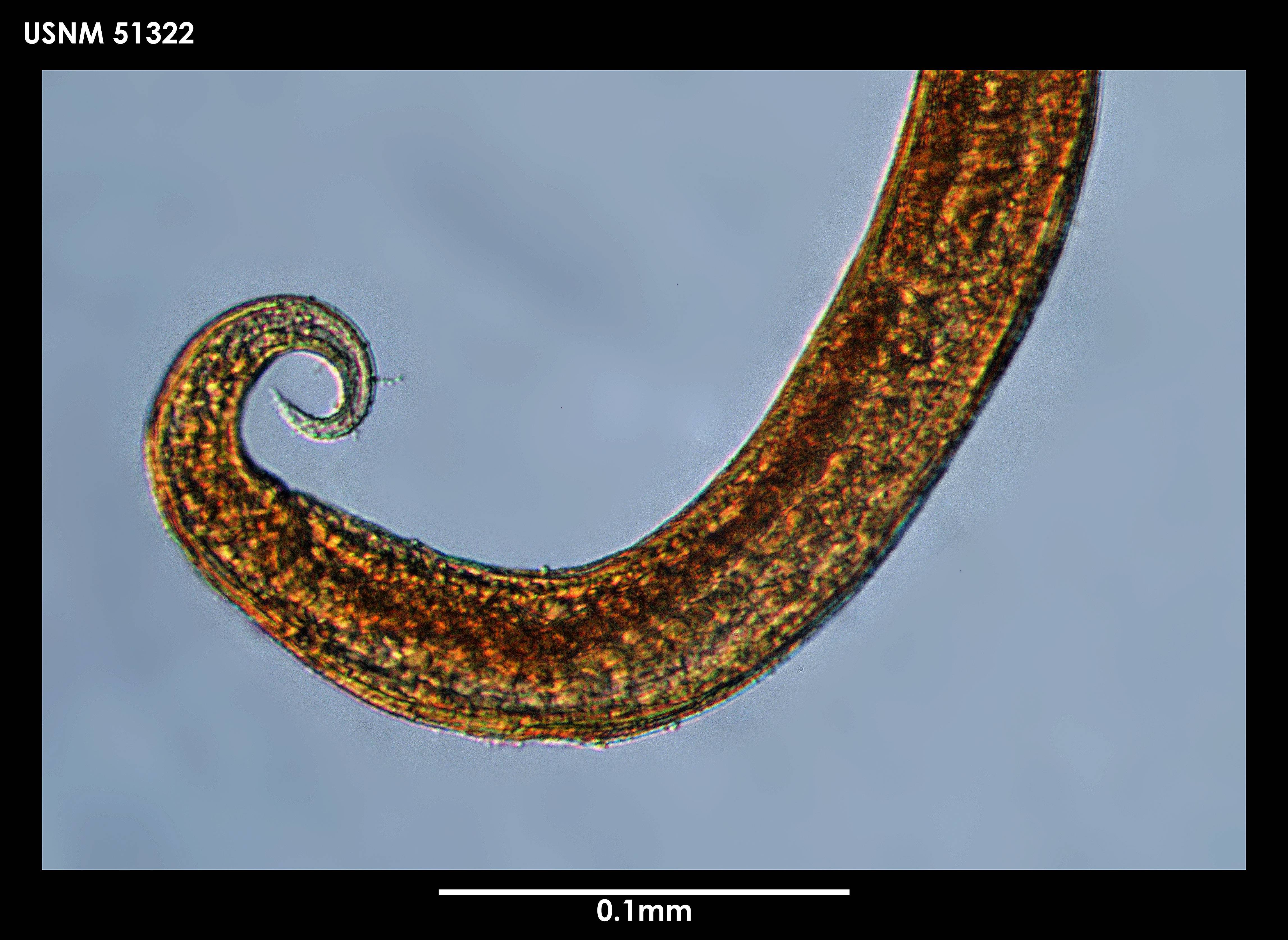 Image of <i>Chromadorella meridiana</i> Cobb 1914