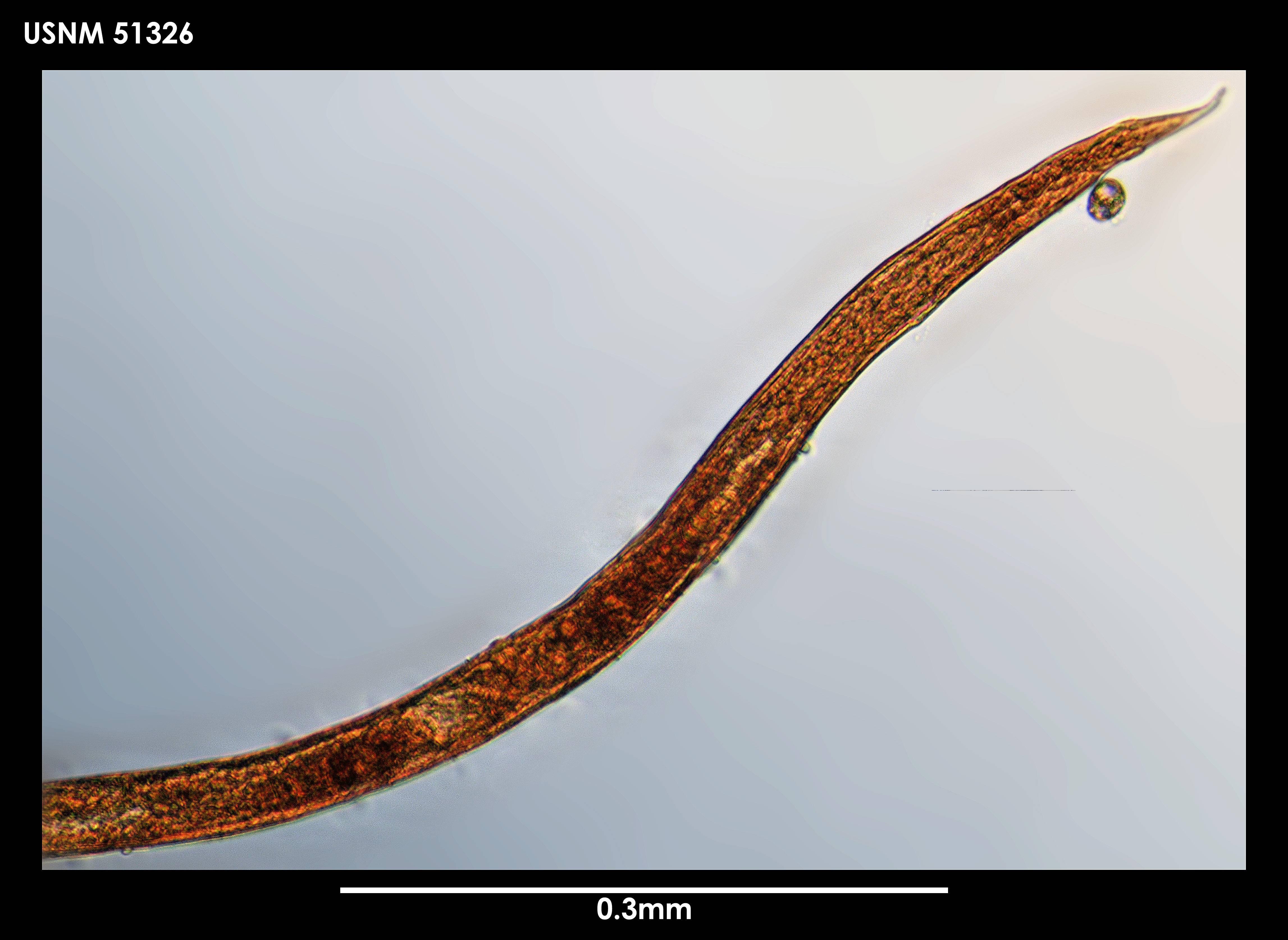 Image of <i>Neochromadora edentata</i> (Cobb 1914)