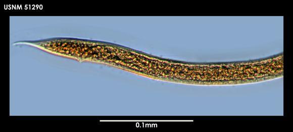 Image of <i>Cinctonema polare</i> (Cobb 1914) Timm 1978