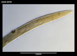 Image of <i>Plectus frigophilus</i> Kiryanova 1958