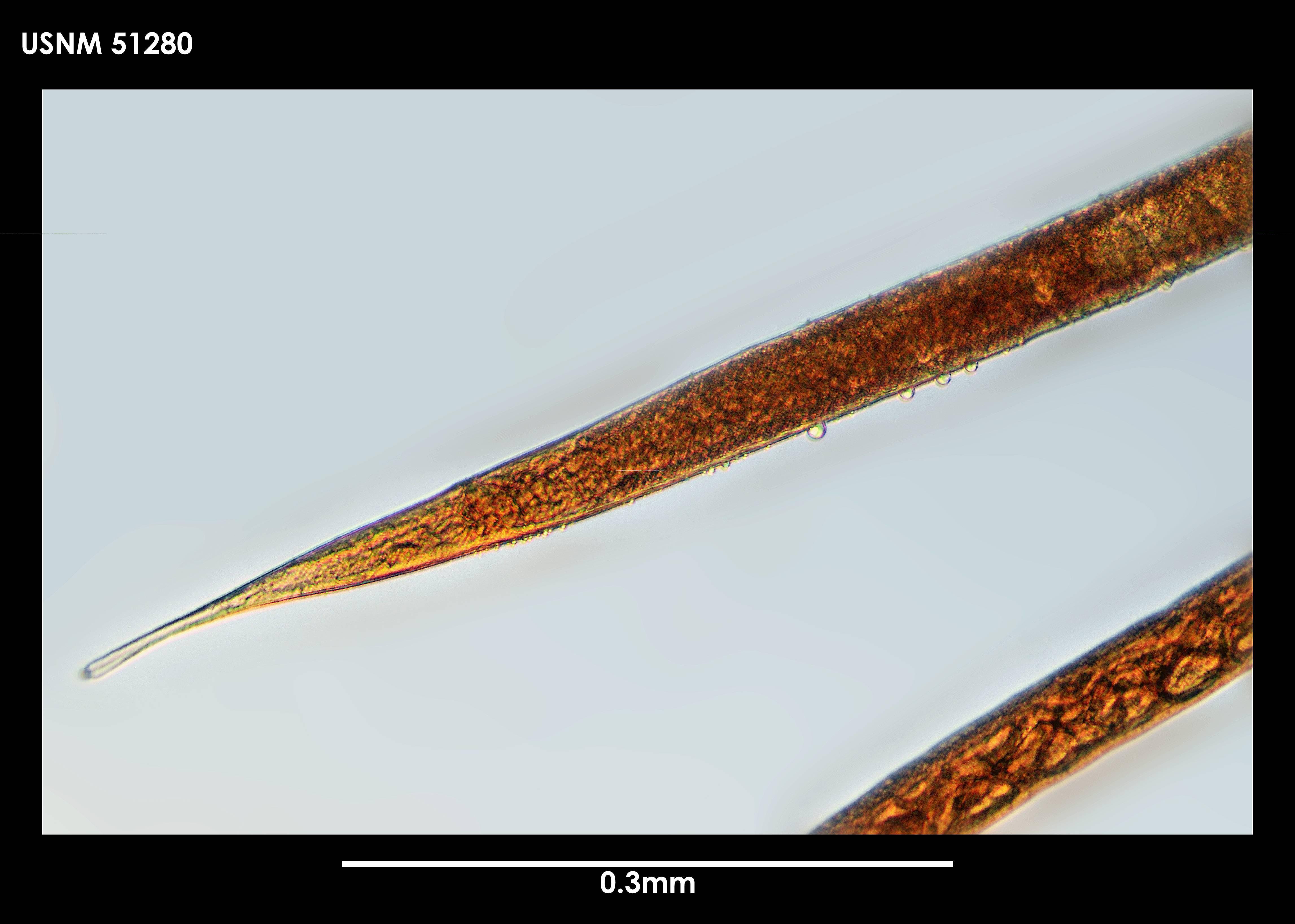 Image of <i>Sabatieria antarctica</i> Cobb 1914